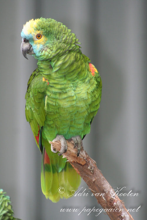 Blauwvoorhoofdamazone ; amazona-aestiva-aestiva