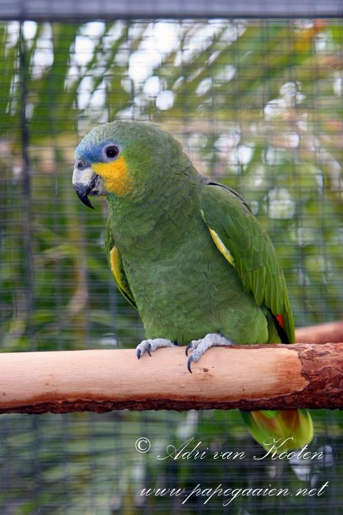 Venezuela-amazone; Amazona amazonica