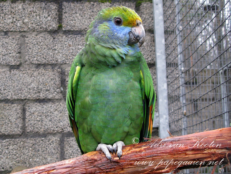 Blauwwangamazone; Amazona dufresniana