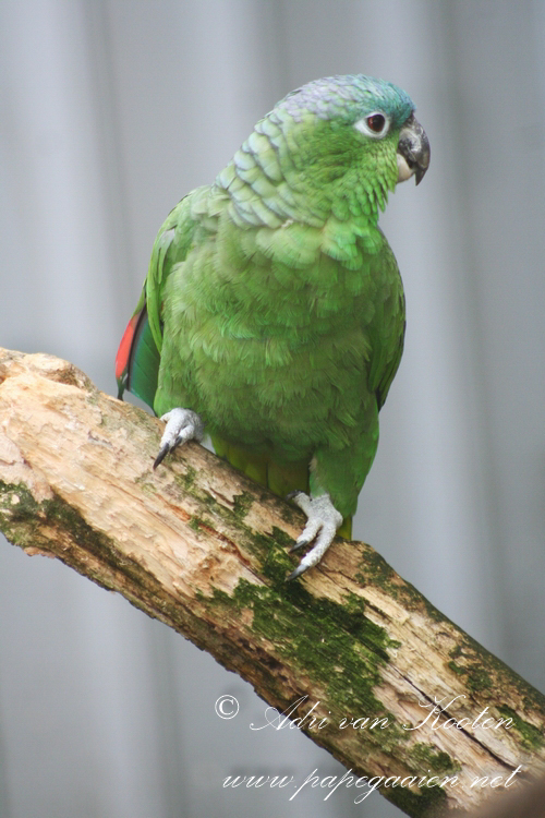 Guatemala-amazone ; Amazona farinosa guatemalae