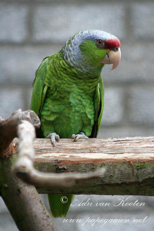 Finsch amazone ; Amazona-finschi-finschi