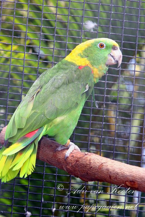 Roatánamazone ; Amazona ochrocephala caribae
