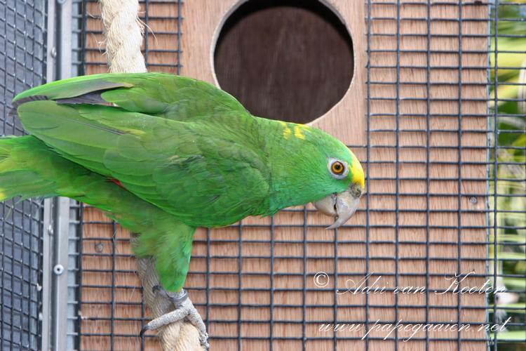 Hondurasamazone ; Amazona ochrocephala hondurensis