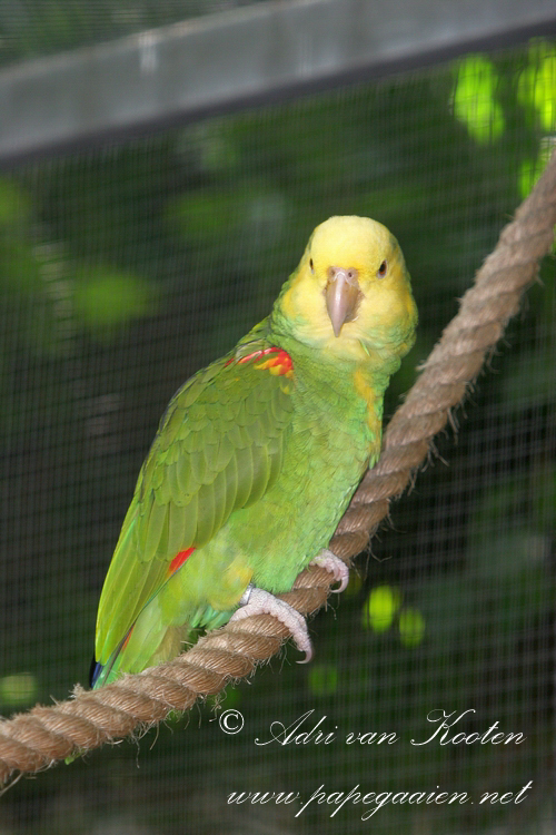 Tres Mariasamazone ; Amazona ochrocephala tresmaria