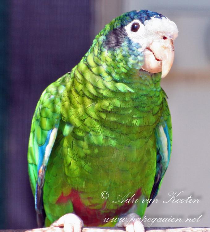 Hispaniola-amazone ; Amazona ventralis