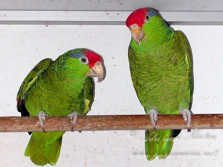 Groenwangamazone; Amazona virdigenalis