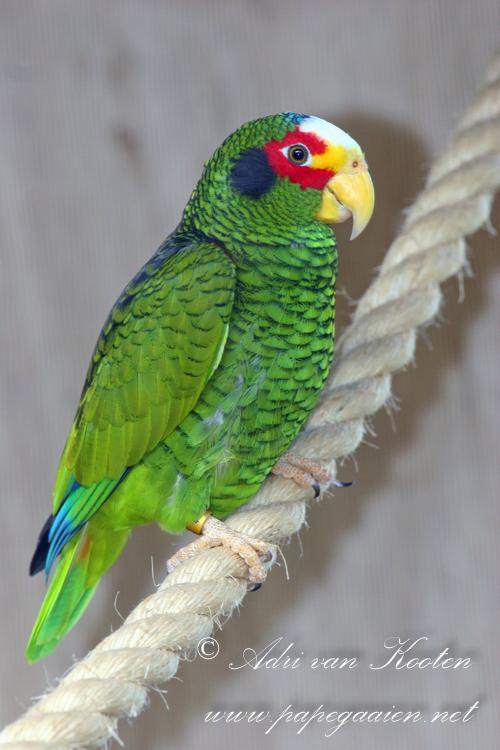 Geelteugelamazone ; Amazona xantholora