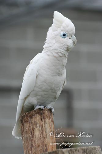 Ducorpskaketoe; (Cacatua (Licmetis) ducorpsii)