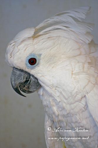 Witkuifkaketoe; Cacatua alba