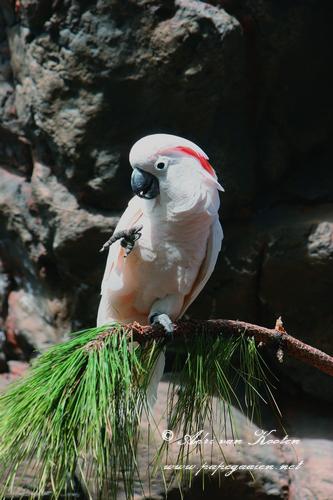 Molukkenkaketoe; Cacatua moluccensis