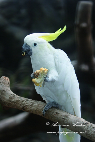 Abbott-geelkuifkaketoe; Cacatua sulphurea abbotti