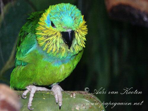 Salvadori-vijgpapegaai; Psittaculirostris salvadorii